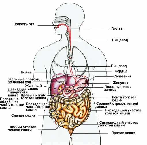 схема расположения органов в человеке
