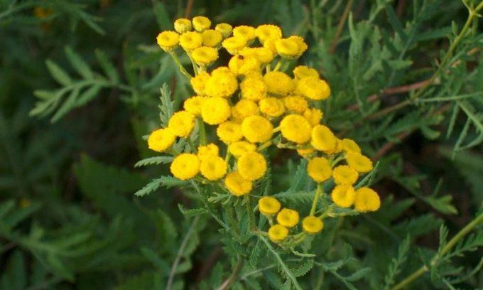 Цветы пижмы также помогут, если вы страдаете панкреатитом