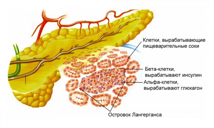 Типы клеток поджелудочной железы