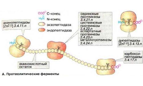 Схема действия протеолитических ферментов