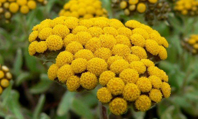 Вещества, содержащиеся в цветках бессмертника, стимулируют и усиливают выработку желчи, желудочного и панкреатического сока