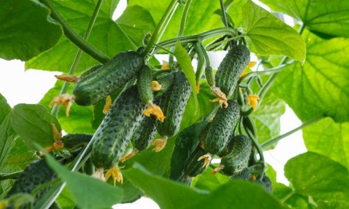 Желательно употреблять в пищу домашние овощи, которые в процессе выращивания не удобрялись