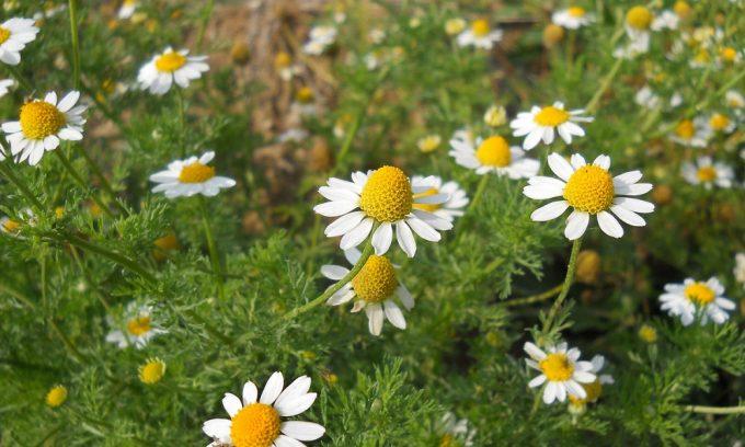 Для лечения панкреатита готовят отвар из цветков ромашки, в которых содержится большое количество флавоноидов и эфирных масел